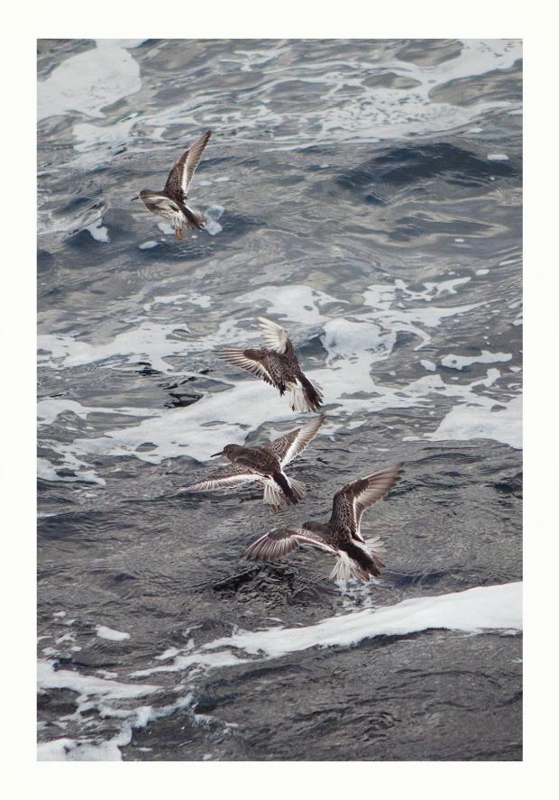 Purple Sandpipe, Birdwatching Isle of Skye